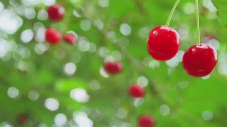on nature : Beautiful Cherries In Nature Stock Footage