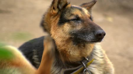 restraining : German Shepard Scratching Stock Footage