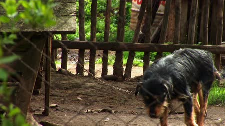restraining : Lonely Dog Walking Chained In Backyard Cage Stock Footage
