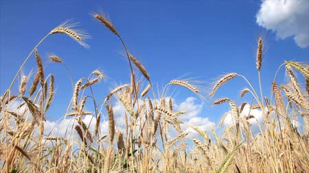 ağaçlandırma : Wheat Close-Up With Blue Sky And White Clouds! Perfect Day!