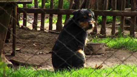 pawed mammal : Lonely Dog Sitting Chained In Backyard Cage. Stock Footage