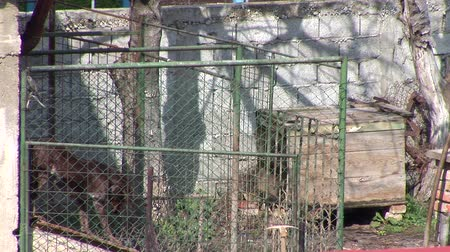 restraining : Lonely Dog In Backyard Cage.
