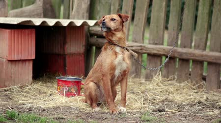 restraining : Lonely Dog Chained In Backyard Longing For Attention