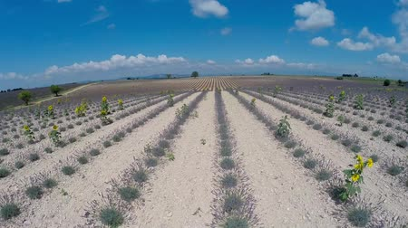 francja : Aerial video Provence - lavender field in the Valensole ,France