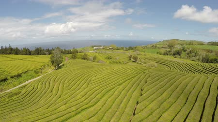 sao miguel : Aerial Footage Tea plantation at Cha Gorreana, Maia, San Miguel, Azores, Portugal Stock Footage