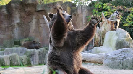 humor : Brown bear looking for food in Madrid Zoo