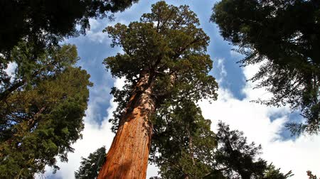 time lapse of General Sherman tree in Sequoia National Park, California Stock Footage