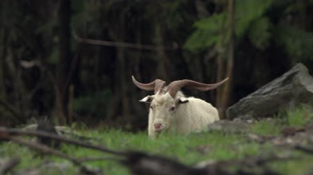 billy goat : feral goat in bush setting, New Zealand Stock Footage