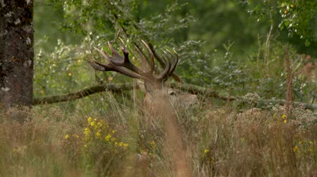 Classic red deer stag, Cervus elephas, in New Zealand bush Stock Footage