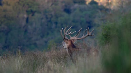 Classic red deer stag, Cervus elephas, surveys his territory in New Zealand bush