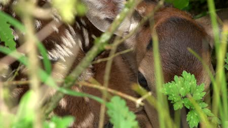 Young red deer fawn hiding in grass, West Coast, New Zealand