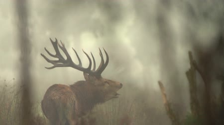 Classic red deer stag, Cervus elephas, on a foggy morning during the rut in New Zealand bush Stock Footage