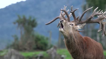 Impressive red deer stag, Cervus elephas, during the rut in New Zealand bush