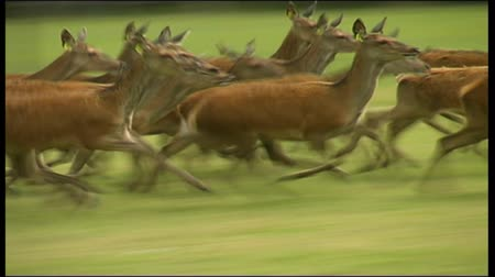 Mob of red deer running on a West Coast farm, New Zealand