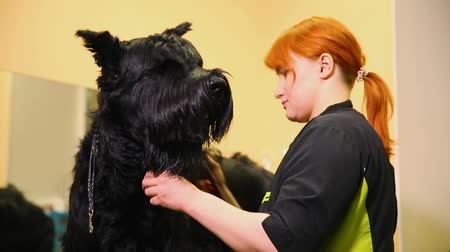 itaat : A professional groomer in my shop cuts a large black Terrier with clippers hair. Caring for a dog