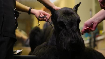 itaat : In the beauty salon for dogs, two women groomers prepare the dog for the resource. Cut the hair on the dogs face. Large black dog.