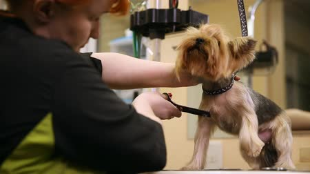 só as mulheres jovens : Grummer with shears cuts the hair of a small dog for an exhibition. Vídeos