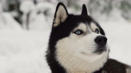 сибирский : Close-up of a dogs face - a Siberian husky with blue eyes looking directly into the camera. Стоковые видеозаписи