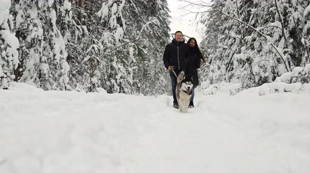 сибирский : A happy married couple being in the winter pine forest walks with beautiful black-pain Siberian Husky. They are soothing and joyful on peoples faces.