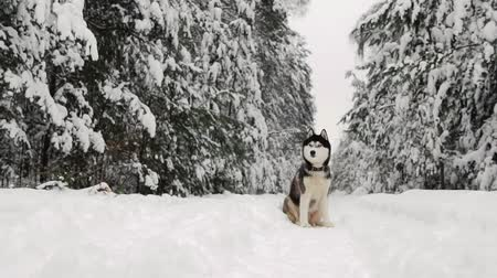 сибирский : Siberian husky sits in the forest on a path against the backdrop of a winter forest. Beautiful winter dog in the forest. Стоковые видеозаписи