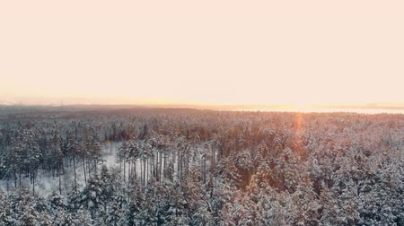 snow covered spruce : AERIAL CLOSE UP Flying over frozen treetops in snowy mixed forest at misty sunrise. Golden sun rising behind icy mixed forest wrapped in morning fog and snow in cold winter. Stunning winter landscape Stock Footage