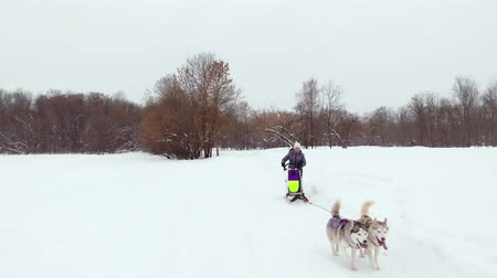 jachthonden : Huskies run in the winter in harness through the snow and drive a woman in a sleigh behind him