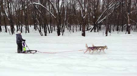 siberiano : Siberian husky in a dog team. Running in the forest. Riding in sledge with a siberian husky dog team