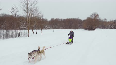 mushing : Huskies run in the winter in harness through the snow and drive a woman in a sleigh behind him