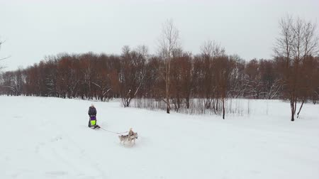 finland : Huskies run in the winter in harness through the snow and drive a woman in a sleigh behind him
