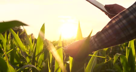 fertility : Farmer using digital tablet computer in corn field, modern technology application in agricultural growing activity