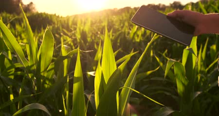srovnávat : Lens flare: farmer with a tablet to monitor the harvest, a corn field at sunset. Man farmer with a tablet monitors the crop, corn field at sunset, slow motion video. Dostupné videozáznamy