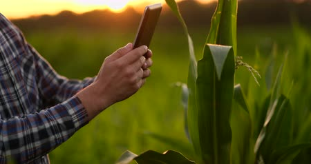 verantwoordelijk : Lens flare: a Male farmer with a tablet computer in a field at sunset touches the corn leaves and writes data to the program.