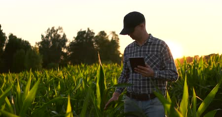rolnik : Lens flare: a Male farmer with a tablet computer in a field at sunset touches the corn leaves and writes data to the program.