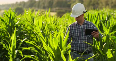 gururlu : A male farmer with a tablet at sunset in a field of corn examines the plants and using the application controls and sends for analysis data on the successful harvest