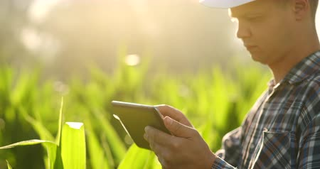 verim : Close Up male hand touching a leaf. Senior farmer holding a laptop in a corn field taking control of the yield.