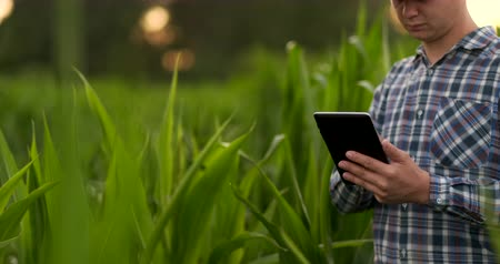 harvesting : Close Up male hand touching a leaf. Senior farmer holding a laptop in a corn field taking control of the yield.