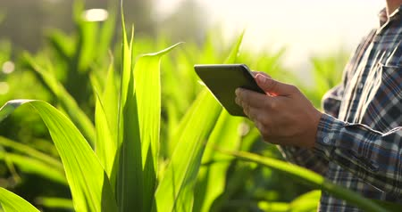 analista : Close-up: hands engineer agronomist with a tablet computer inspect plants in the fields on a modern farm at sunset.