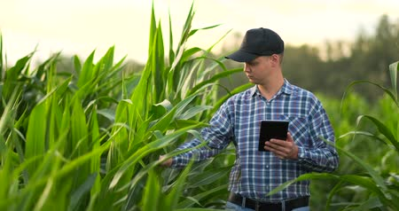 kukoricacső : Farmer using digital tablet computer, cultivated corn plantation in background. Modern technology application in agricultural growing activity concept. Stock mozgókép