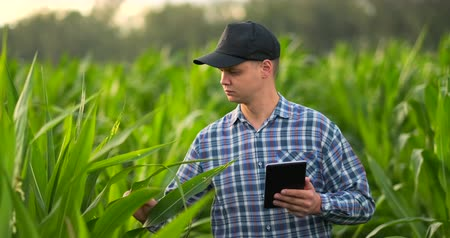 schädlingsbekämpfung : Middle plan: a Male farmer with a tablet computer goes to the camera looking at plants in a corn field and presses his fingers on the computer screen. Ð¡oncept of modern farming without use of GMOs