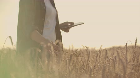 otruby : Close-up of womans hand running through organic wheat field, steadicam shot. Slow motion. Girls hand touching wheat ears closeup. Sun lens flare. Sustainable harvest concept