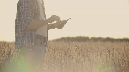 stonky : Farmer using tablet in wheat field. Scientist working in field with agriculture technology. Close up of man hand touching tablet pc in wheat stalks. Agronomist researching wheat ears.