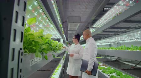 corredor : scientists at the modern farm production discuss the success of growing disease-resistant plants. Hydroponics growing of fat in the modern city