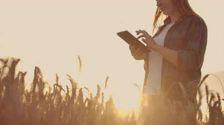 planlamacı : Close-up of a woman at sunset touches the wheat germ and makes the data in the tablet Stok Video