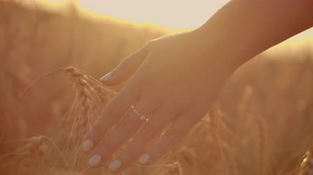 Wheat ears in woman hand. Field on sunset or sunrise. Harvest. Concept.