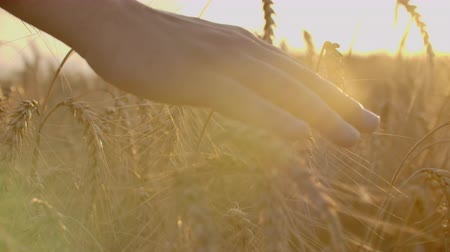 otruby : Close-up shot of a farmer hand touching wheat on the field. Slow motion of the farmer hand touching the wheat on the field.