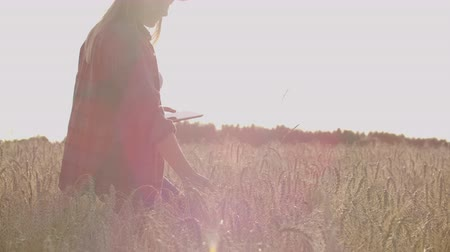 spikes : Young woman farmer in wheat field on sunset background. A girl plucks wheat spikes, then uses a tablet. The farmer is preparing to harvest. Stock Footage
