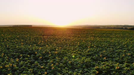 Aerial photography with a drone on the field with sunflowers at sunset