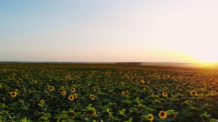плантация : Aerial photography with a drone on the field with sunflowers at sunset