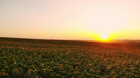 el değmemiş : Aerial photography with a drone on the field with sunflowers at sunset