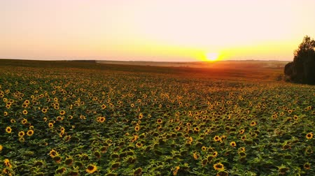 Aerial photography of a sunflower field at sunset. Green sunflower field with a birds eye view Archivo de Video